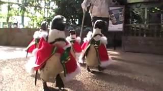 Мини-парад пингвинов в Японии
