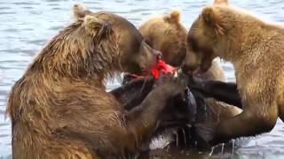 Смешные медведи! Приколы с животными! Смешные медведи на реке!