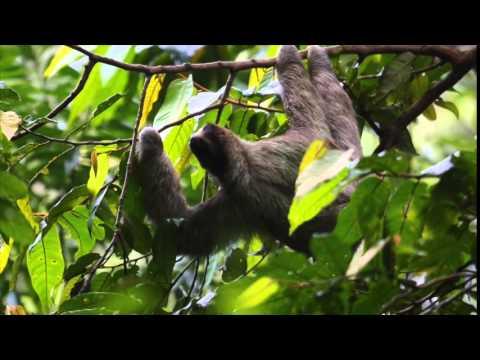 Sloth at El Remanso Lodge