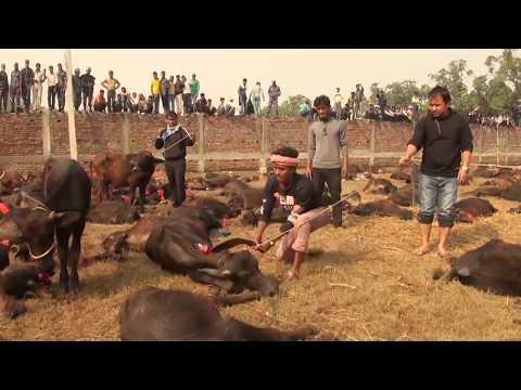 Gadhimai Buffalo sacrifice 2014 || How Hindu's Kill Animals for their god's