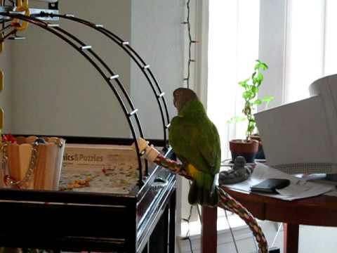 Senegal Parrot Nia Sings Morning Songs