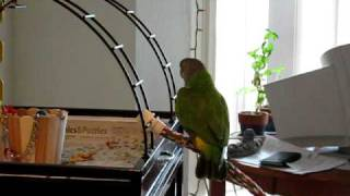 senegal parrot nia sings morning songs