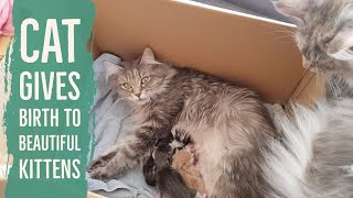 Maine coon cat gives birth to four beautiful kittens
