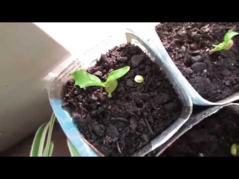 Sprouting Cherry tree from seed
