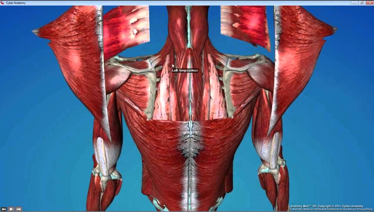 Dental Gross Anatomy Lab 5 Back and Shoulder - YouTube