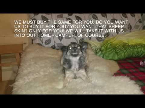 Talking Chihuahua - funny video, papillon dog, funny dogs