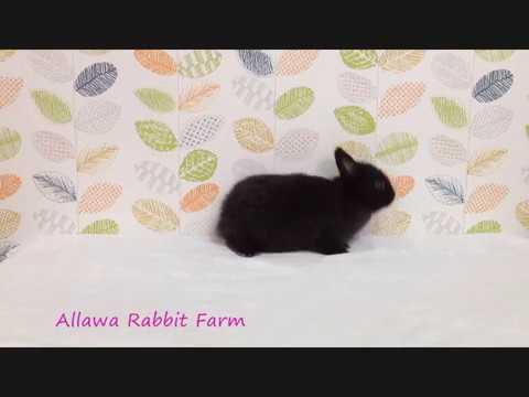 ลูกกระต่ายแคระ เกรดเลี้ยงเล่น สีดำ