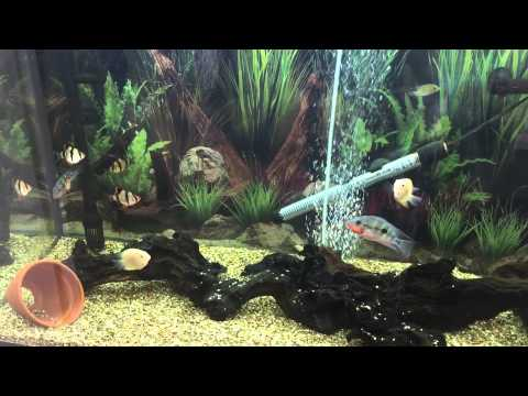 Steve Poland Cichlids 300 Subs Cichlid Shack Contest Entry