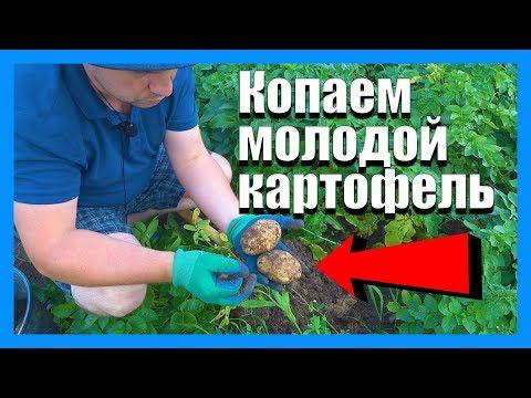 Когда копать молодую картошку?