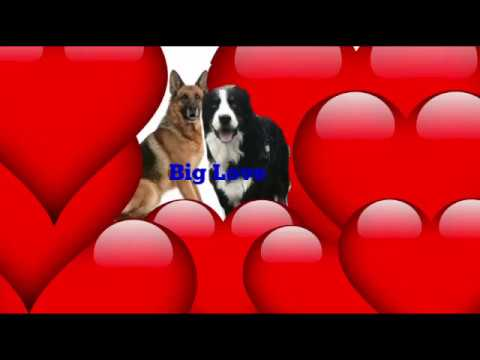 German Shepherd VS Bernese Mountain Dog BIG LOVE