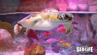 "Sea Turtle ""Frye"" arrives at SEA LIFE Arizona"
