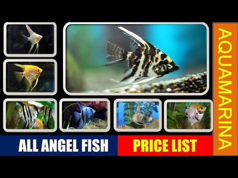 Top 10 Angel Fish Varieties With Their Price List | Types Of Angelfish || Aquamarina