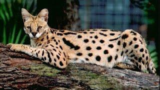 Саванна -  удивительная и восхитительная порода