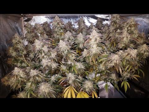 Grow 3: Milk N Cookies Week 9 Flower Pre-Harvest, Special Guest! HLG 260 3x3 Big Plant Grow