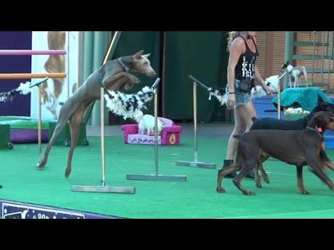 The Amazing Doberman Dog Race