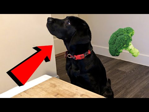 Labrador Puppy Reviews Vegetables!!