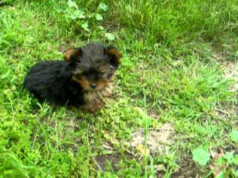 Yorkshire Terrier (Yorkie) Puppies for Sale - Breed Traits