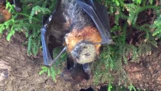 2017 dead flying foxes