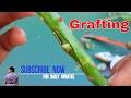 गुलाब पे ऐसे करे ग्राफ्टिंग / How  to bud Grafting Roses / Grafting tips / Gardening /Mammal Bonsai