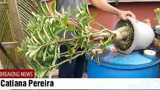 Como Fazer o Replantio e troca de vaso da Rosa do Deserto