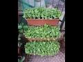 Coltivare Ravanelli in vaso