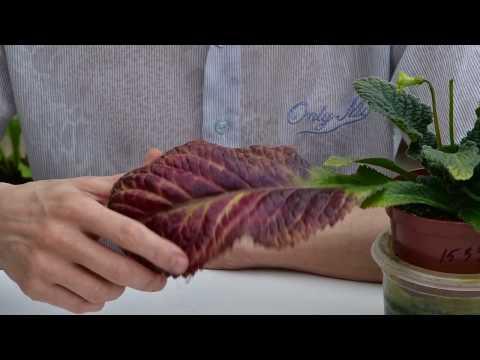 Красные, бордовые, пурпурные листья. Флавоноиды.