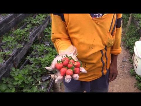 Strawberry farm sa Dalaguete, Cebu