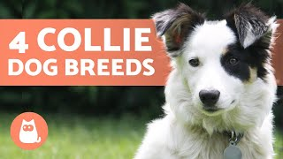 4 Types of COLLIE DOG BREEDS  Do You Know Them All?