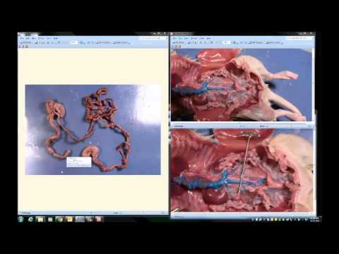 Rat Practical Study Video: Internal Organs - YouTube