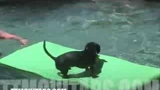 Dachshund Goes Surfing!