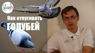 видео Как избавится от голубей на балконе? Создаем неблагоприятные условия для пернатых гостей