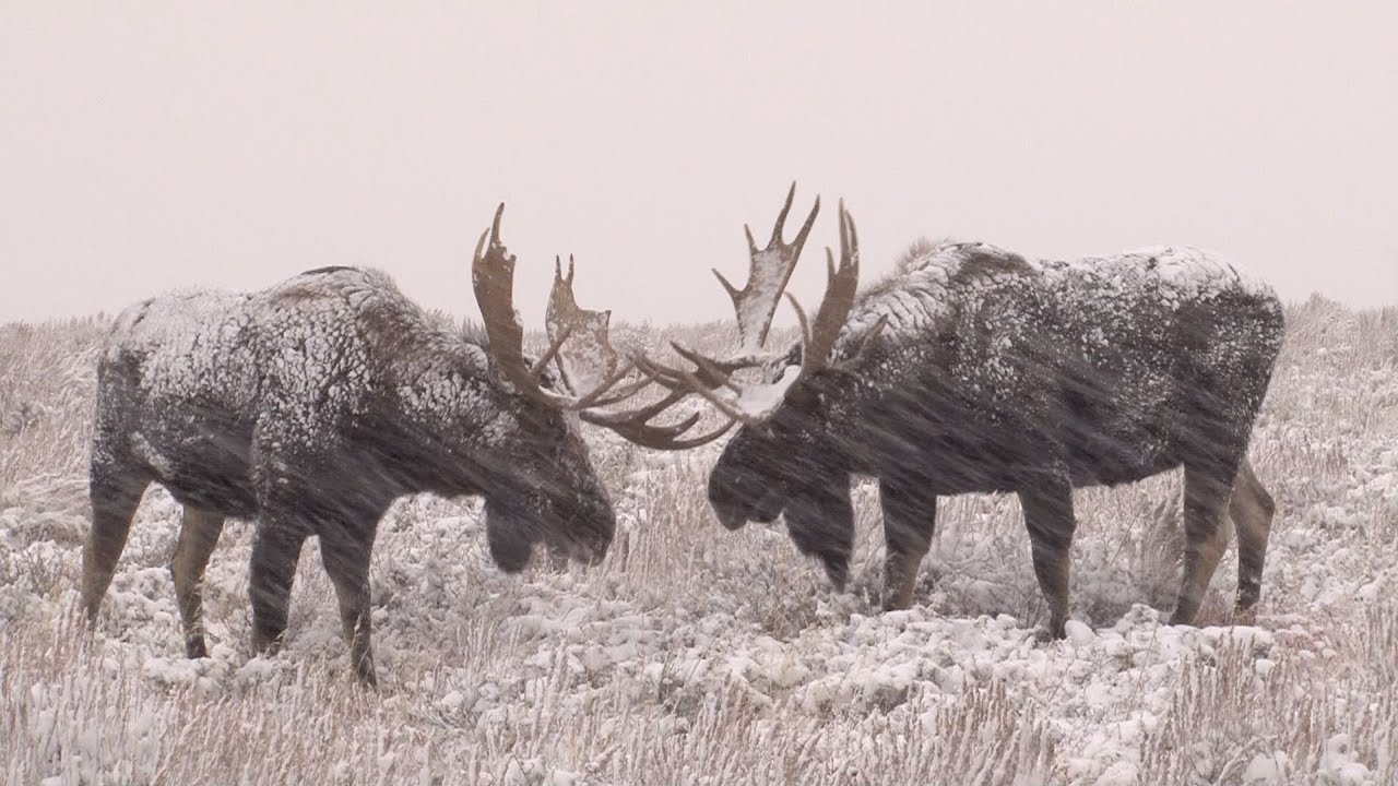 Epic Winter Moose Battle - YouTube