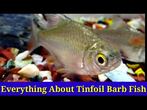 Everything About Tinfoil Barb Fish