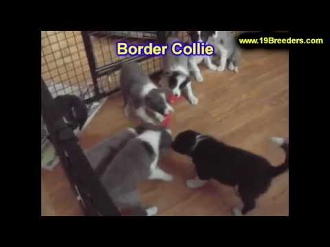 Border Collie, Puppies, Dogs, For Sale, In Chicago, Illinois, IL, 19Breeders, Rockford, Naperville