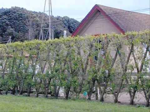 ขายต้นไม้ นิมิตรใหม่ ขายต้นไม้ สนามหลวง 2