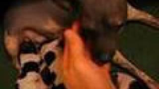 American Hairless Terrier Aht 2005 Naked Heart - England