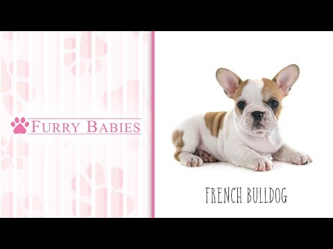 Is the French Bulldog the right breed for you?