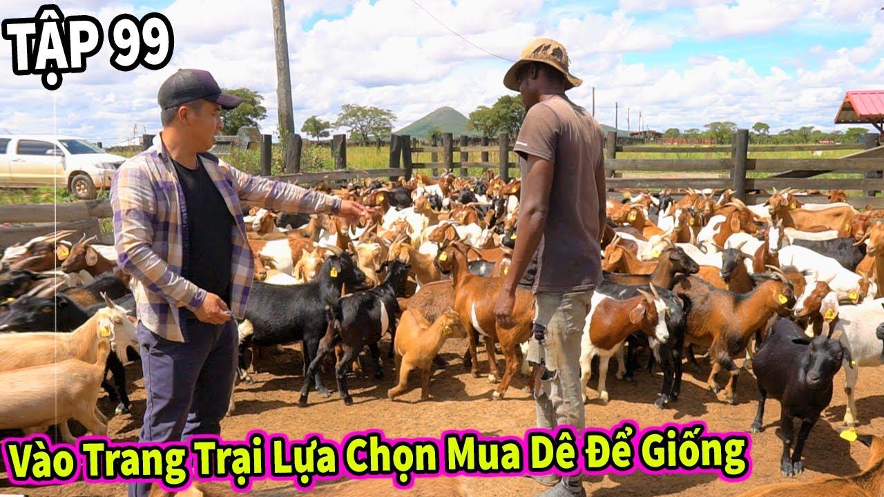(Tập 99) Chăn Nuôi VIỆT NAM ở Châu Phi    Vào Tận Trang Trại Để Lựa Chọn Mua Dê Giống Cho Người Dân
