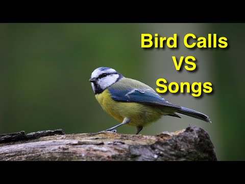 Two Types of Communication Between Birds: Understanding Bird Language Songs And Calls