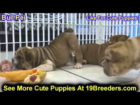 Bull Pei, Puppies, For, Sale, In, Philadelphia, Pennsylvania, PA, Borough, State, Erie, York