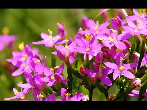 Золототысячник (трава) – свойства и применение