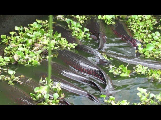 Bắt cá dưới đập hồ Trị An xả lũ - Nuôi cá Hải Tượng bằng nước thải BV