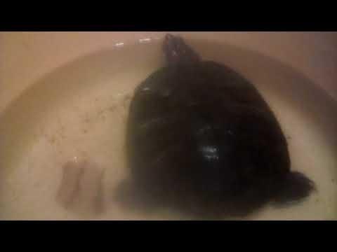 Как линяет красноухая черепаха