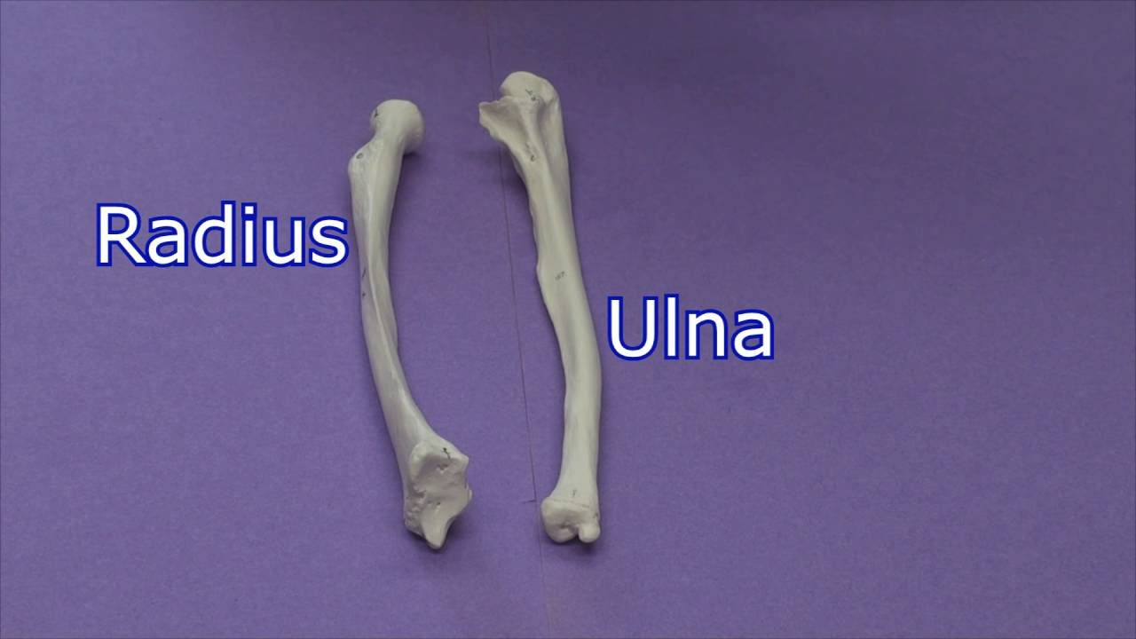 Forearm Bones Radius and Ulna - YouTube