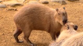 El roedor más grande del mundo