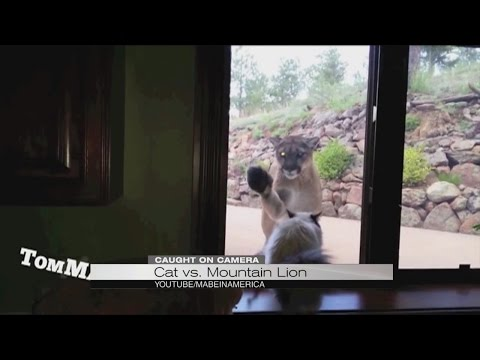 Hissing match between cat and mountain lion