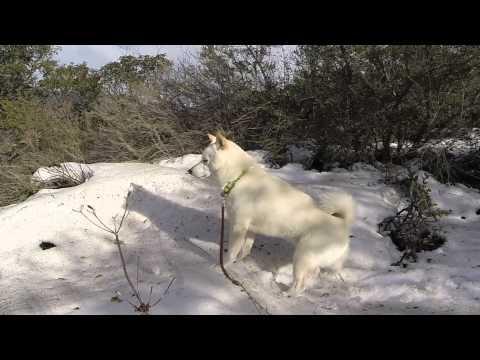 Adventures of Foxy The Shiba Inu - 1080p - Snow in Trabuco Canyon, California! 1/2015