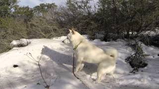 Adventures of Foxy The Shiba Inu - 1080p - Snow in Trabuco Canyon, California! 1/2015