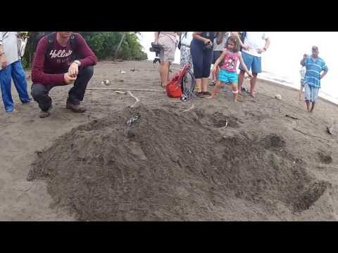 Sea Turtles Hatching - Tortuguero National Park, Costa Rica (Part 1)