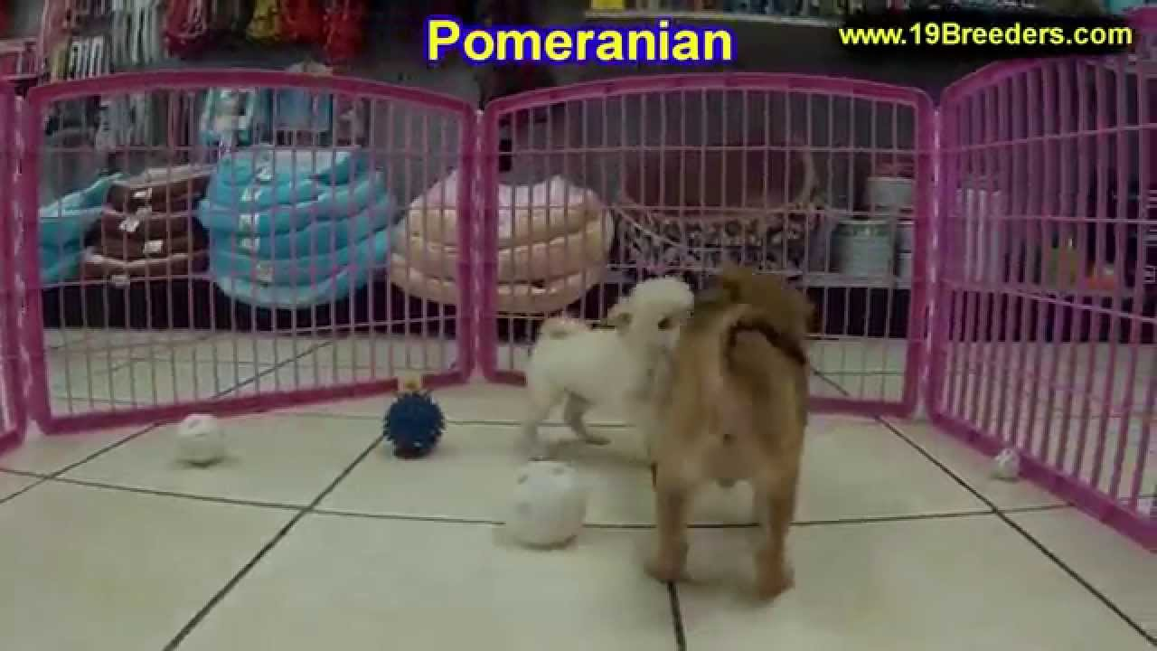 Pomeranian, Puppies, Dogs, For Sale, In Las Cruces, County, New Mexico, NM,  19Breeders, Santa Fe